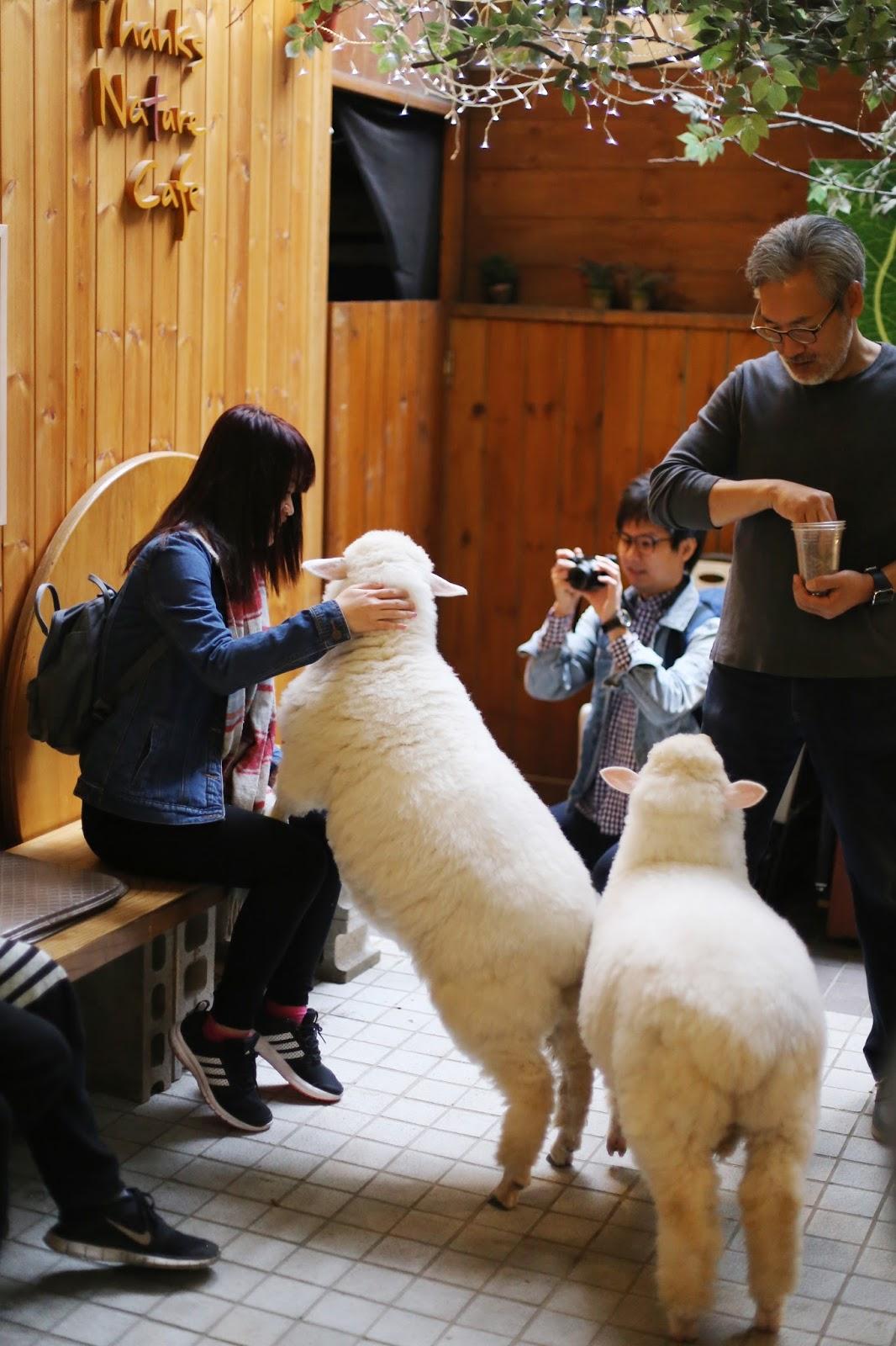 Thanks Nature 'sheep café' in Hongdae, Seoul