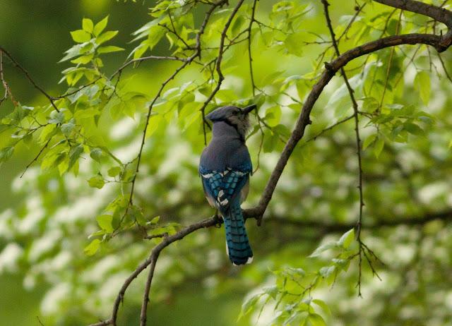 Blue Jay - Central Park, New York