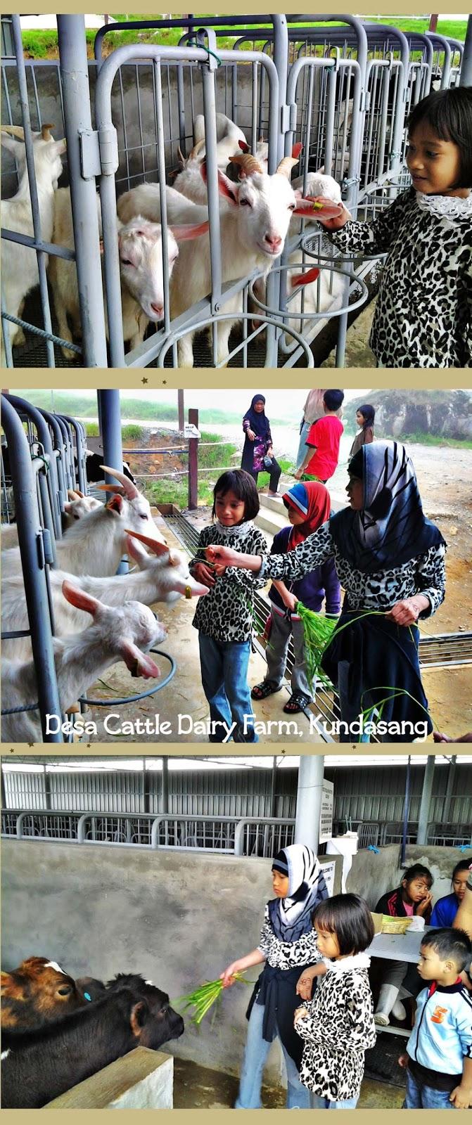 Mesilau Dairy Farm, Kundasang