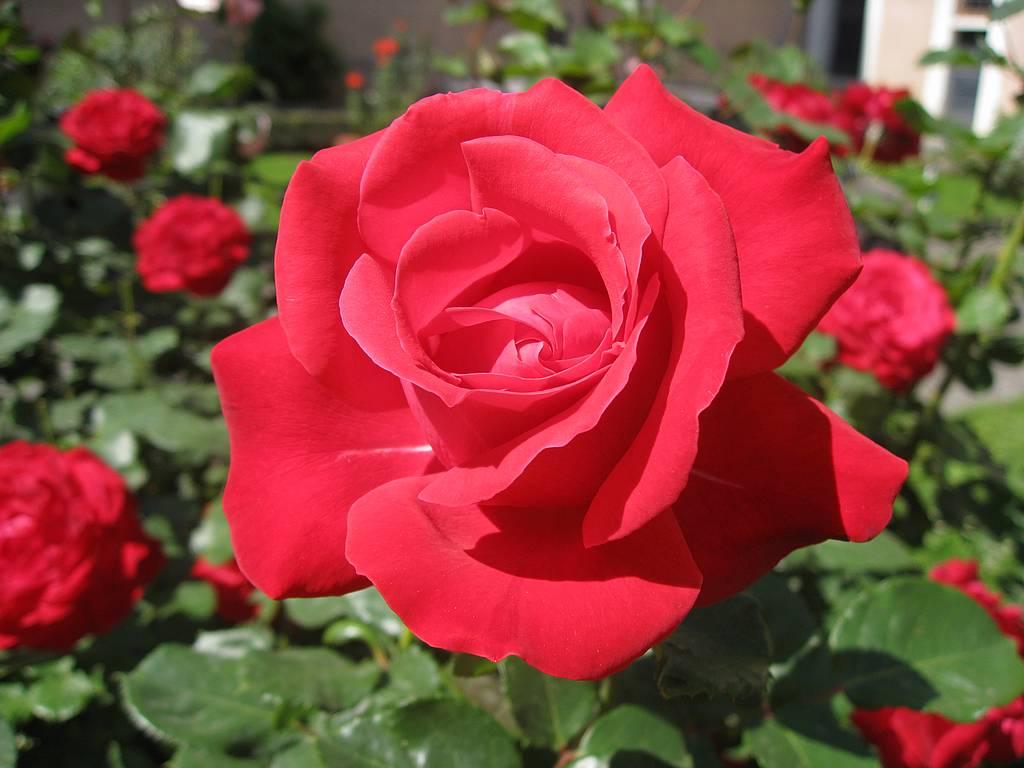 Gambar Setangkai Mawar Merah Download Gambar Gratis | Car