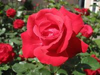 Manfaat Air Mawar Untuk Kesehatan Dan Kecantikan