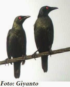 Foto Burung Cucak Keling Jantan