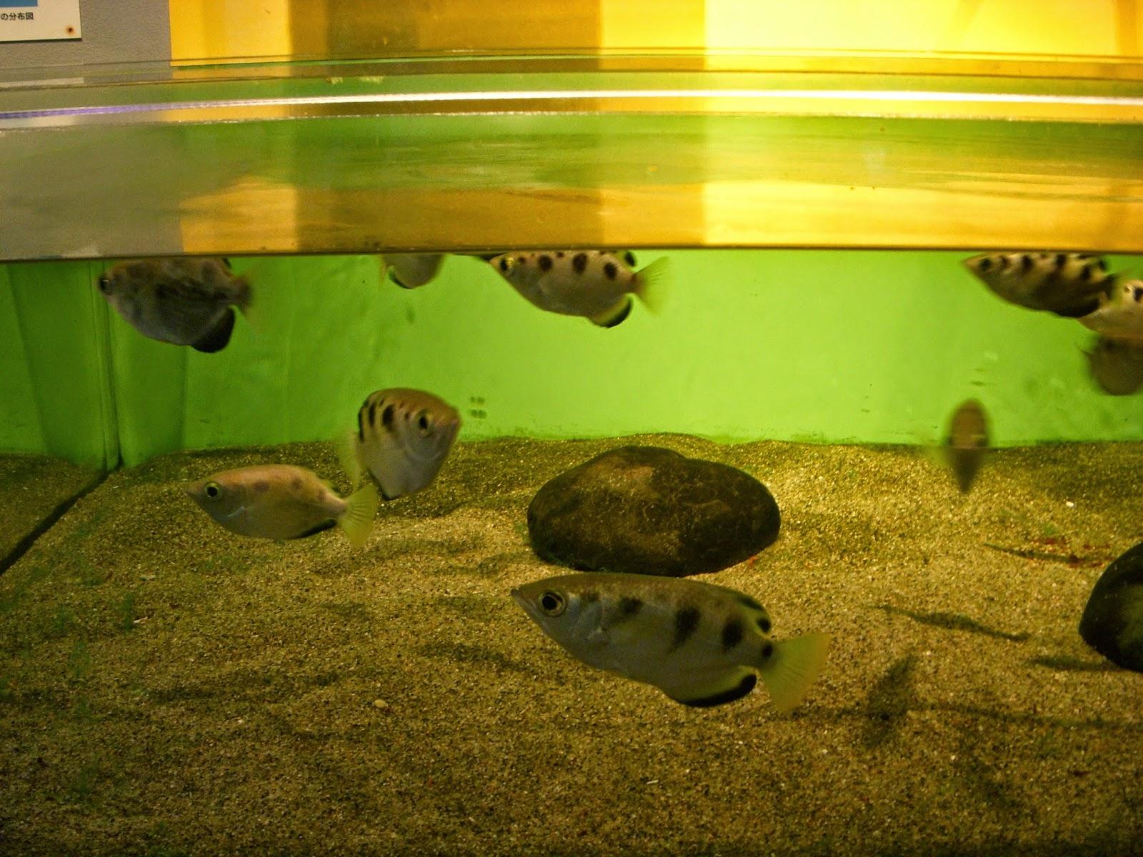 Archer Fish Tank   Raptormaniacs Shinagawa Aquarium