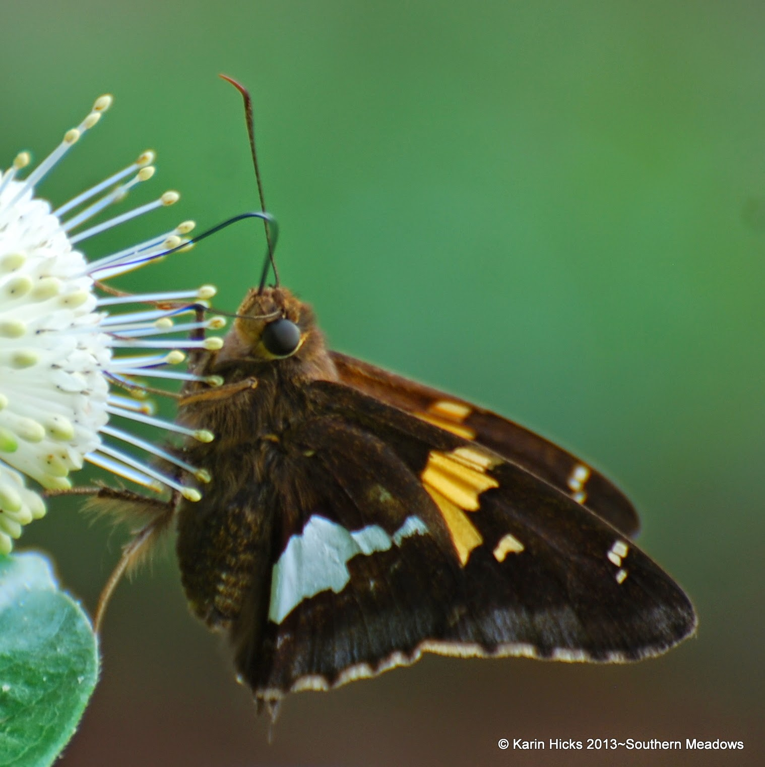 skipper butterfly on button bush