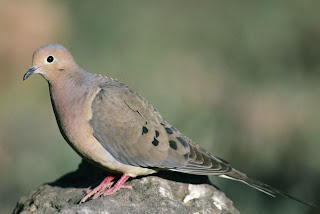 mourning dove perched on a rock