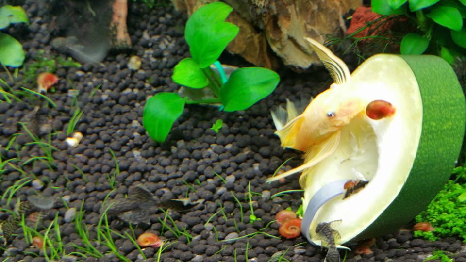 Cá pleco ăn bí trong bể thủy sinh