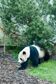 panda at Edinburgh Zoo Scotland