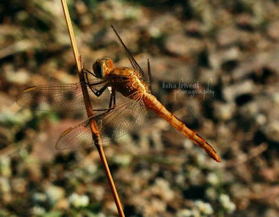 "Dragon fly clicked by Isha Trivedi in Khandala ""Isha Trivedi"""