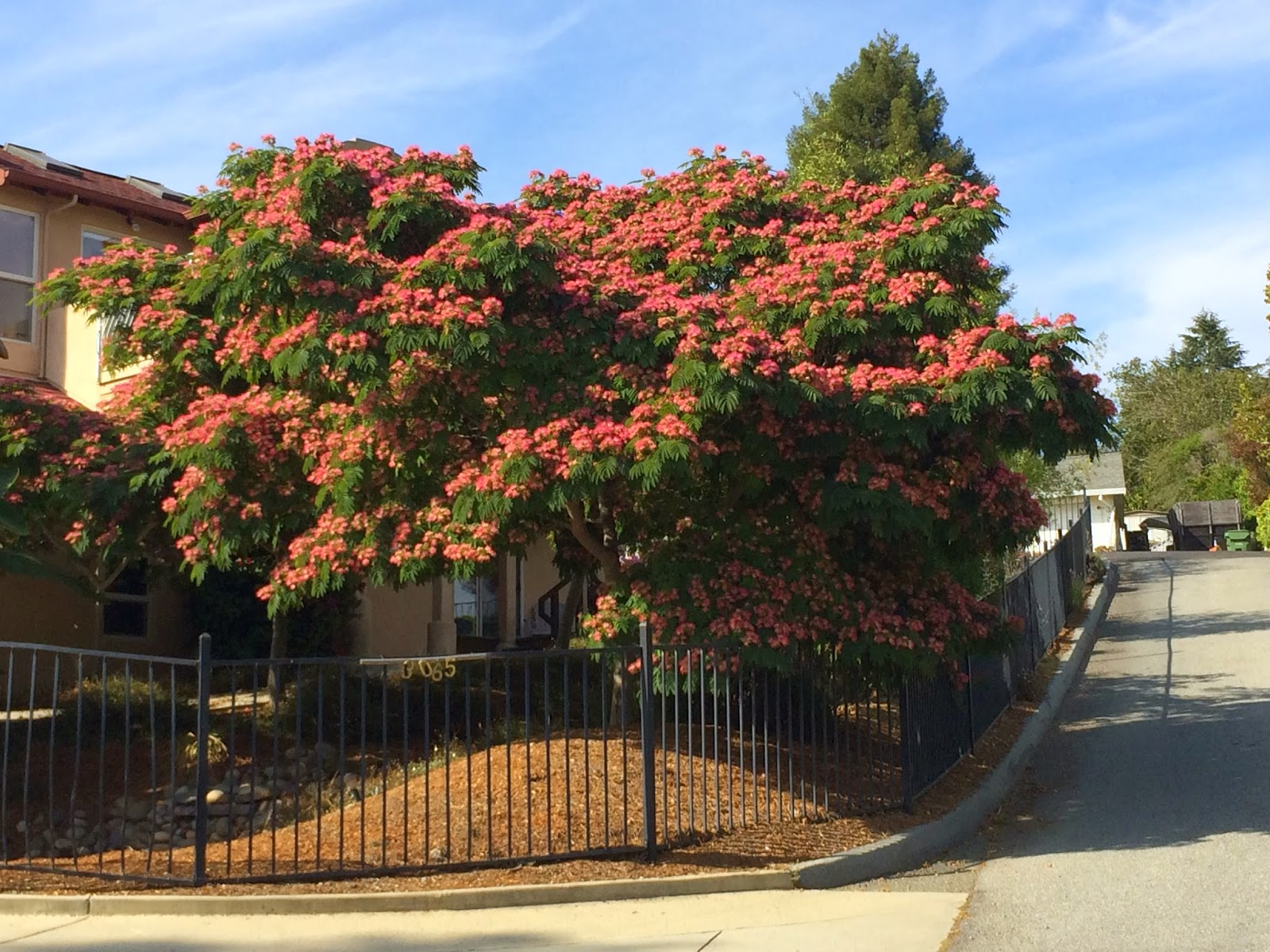 trees of santa cruz county albizia julibrissin 39 rosea 39 rosea silk tree. Black Bedroom Furniture Sets. Home Design Ideas