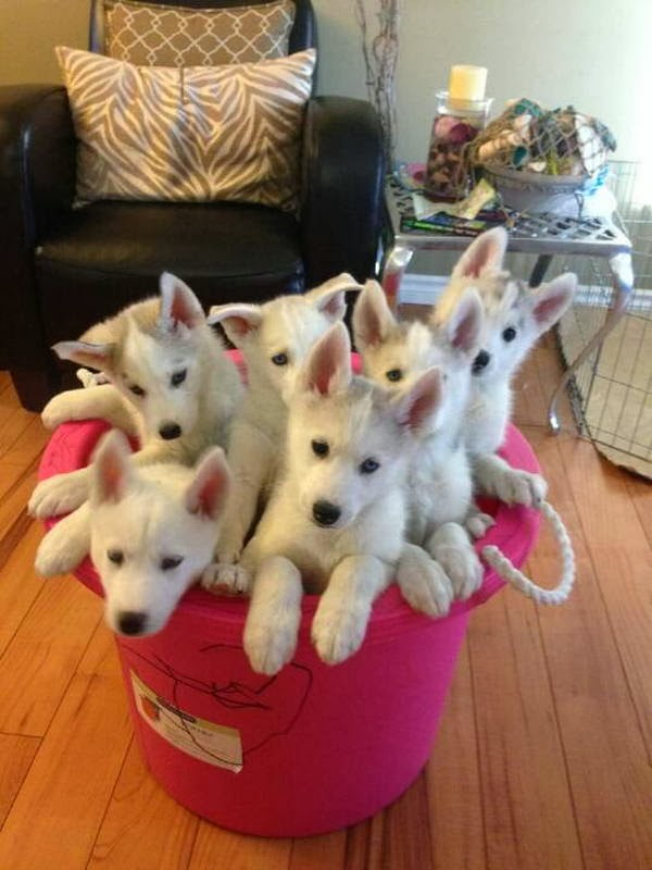 Cute dogs - part 8 (50 pics), a bucket of husky puppies