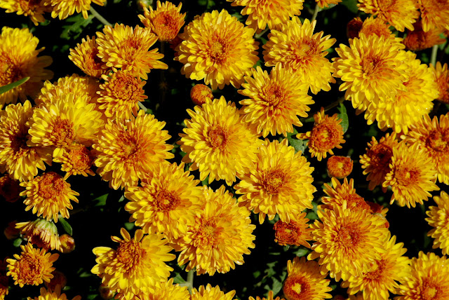 Chrysanthemum morifolium - common garden chrysanthemum