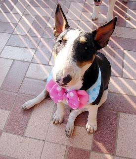 Ribbon Bull Terrier : น้องหมาผูกโบว์  น่ารัก น่ารัก