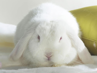 White Bunny wallpaper