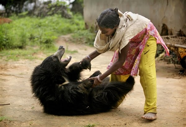 Sloth bear pet in India, Buddu playing with Kisan's family member