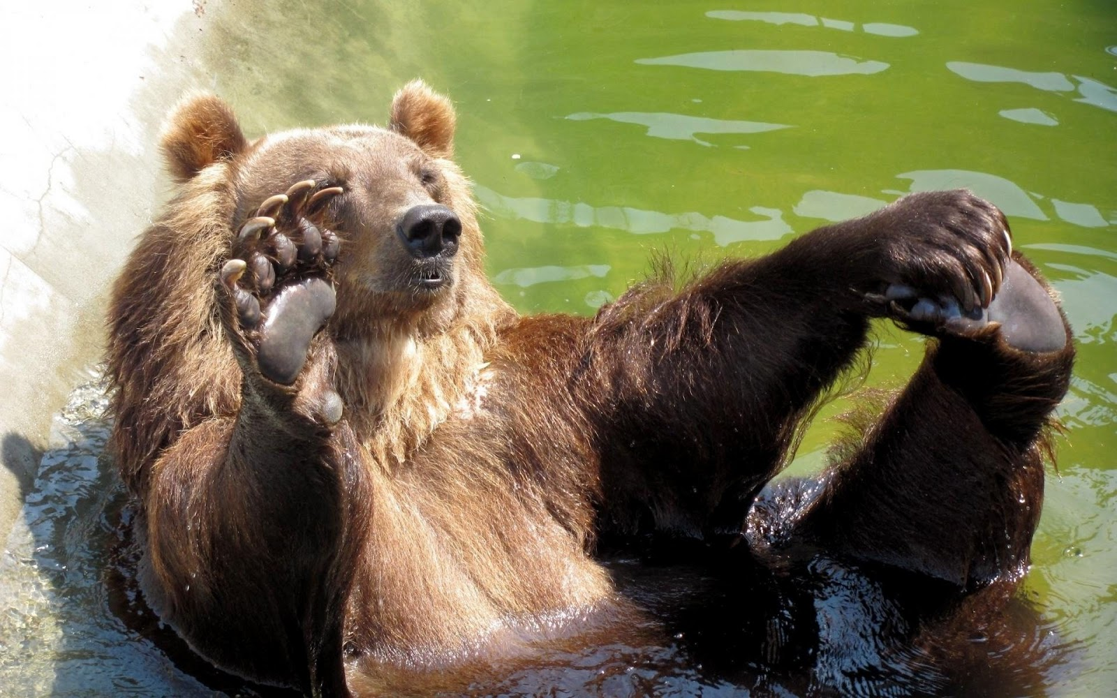 Funny Grizzly Bear