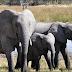 Beternak Gajah Mendatangkan Keuntungan Besar!