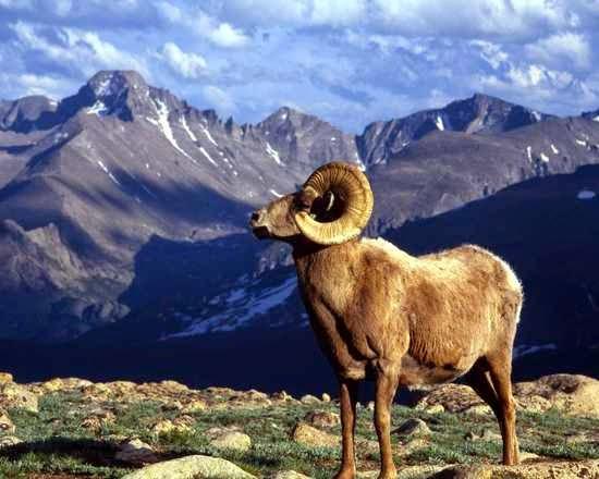 Cabra en la montaña