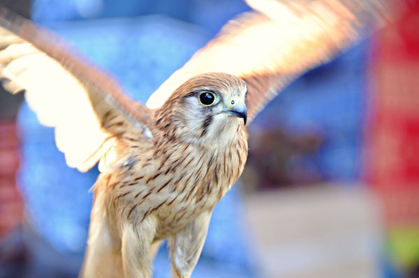 winterfest bird of prey