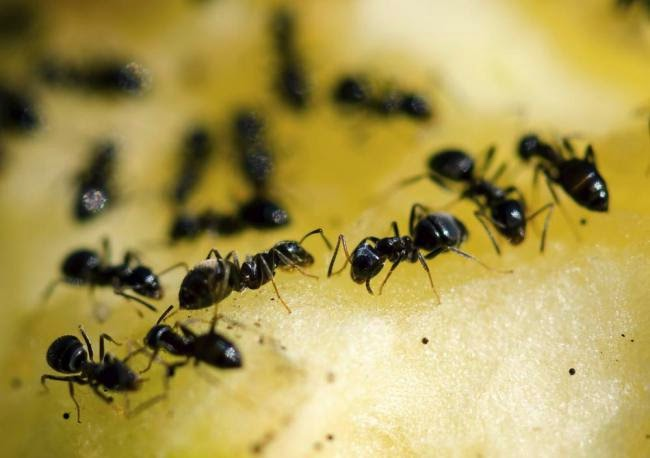 Semut api menyerang London
