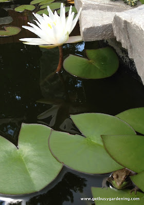 Water lily with frog in pond