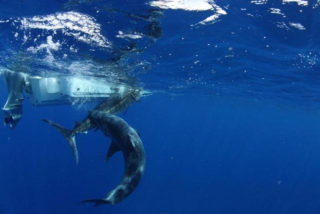 predator shark pesca