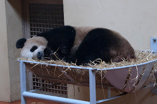 Yang Guang at Edinburgh Zoo