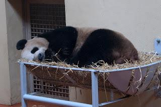 Yang Guang at Edinburgh Zoo