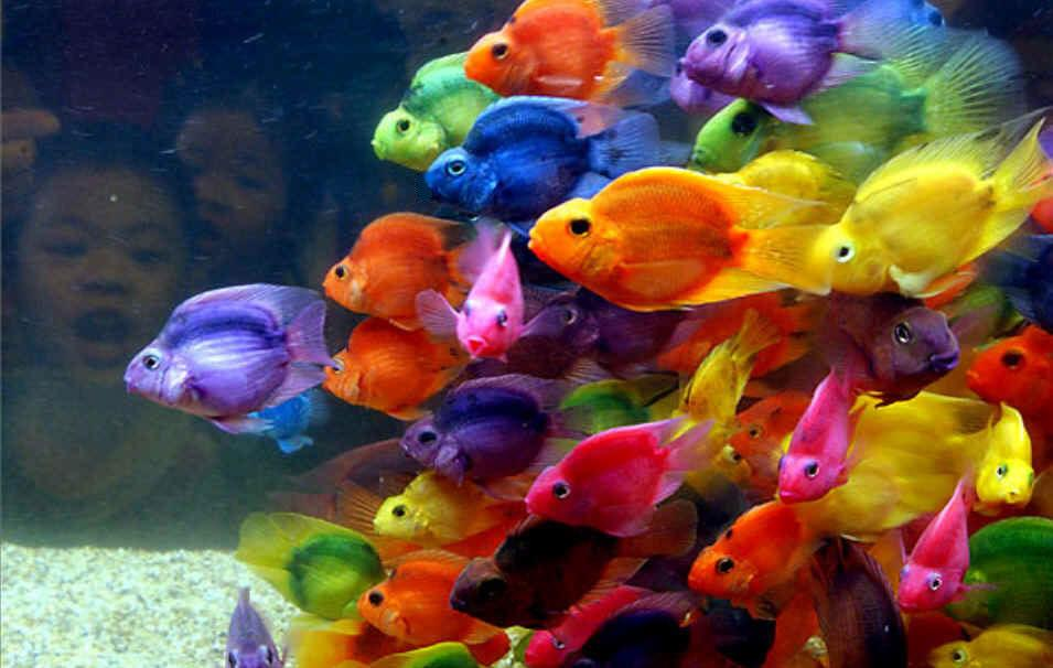 Beautiful and colorful blood parrot cichlid are colored by for Colorful freshwater aquarium fish