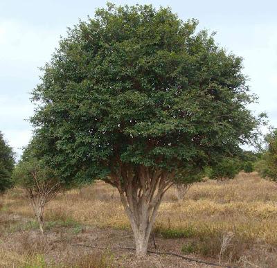 Plantio de Jabuticaba
