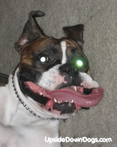 [Image: buddy-the-crazy-boxer-dog-400x500.jpg]