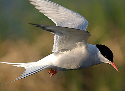Arctic Tern Flying