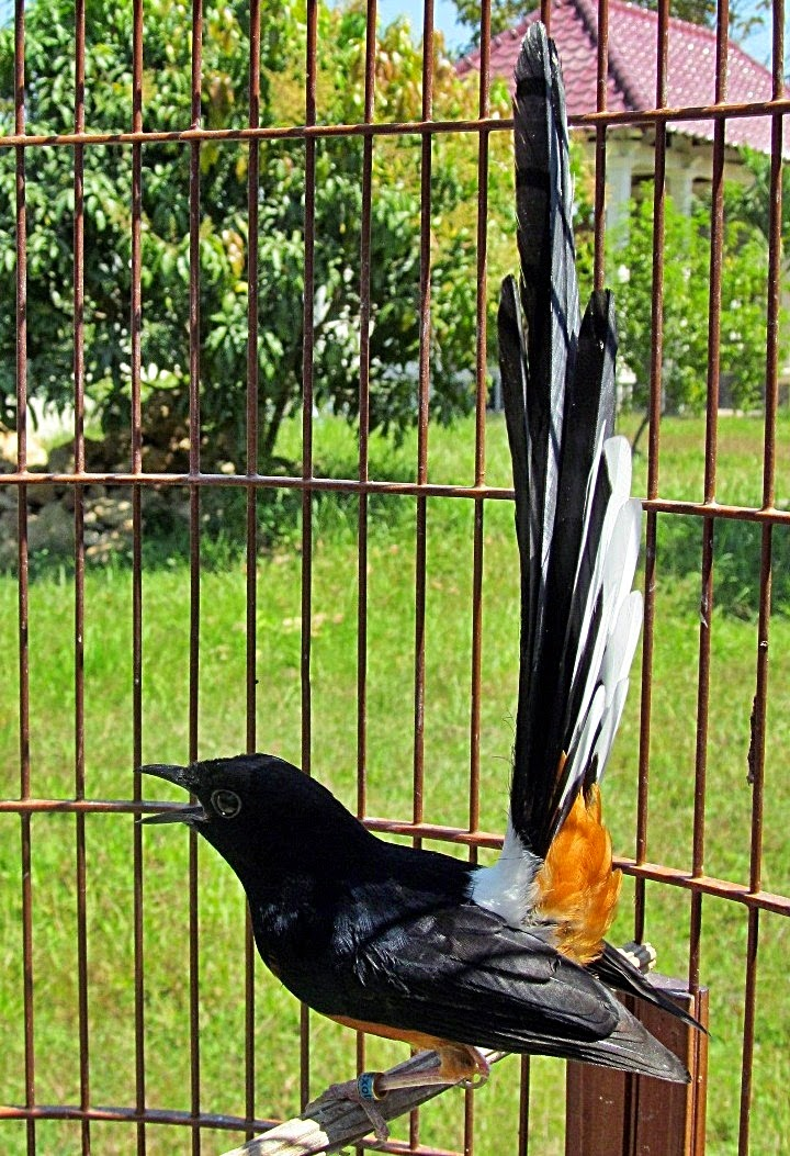 Budidaya Burung Cara Sukses Merawat Burung Ocehan