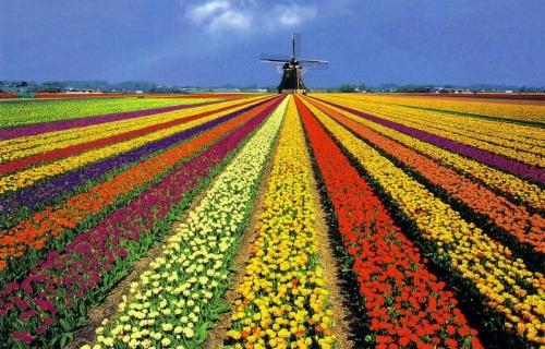 imagenes de flores tulipanes holandeses - Alegra tu jardín con tulipanes Plantas facilisimo com