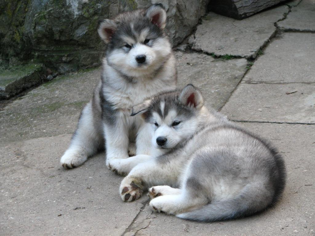 http://4.bp.blogspot.com/-KuegujYoV90/TyVPW4o7ACI/AAAAAAAAA4U/nyjFYkP5c0c/s1600/alaskan_malamute_puppy.jpg