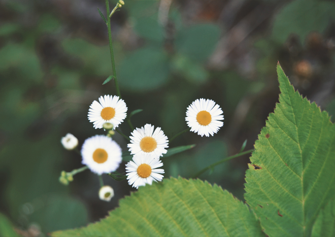 The Flying Clubhouse: June Catchfly // fleabane