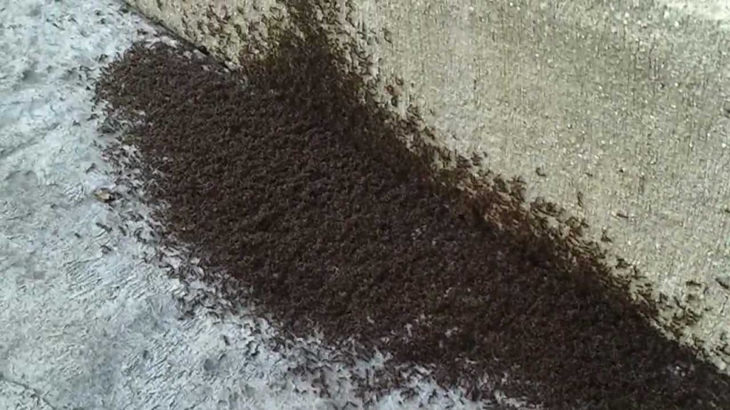 how to kill black ants in my house