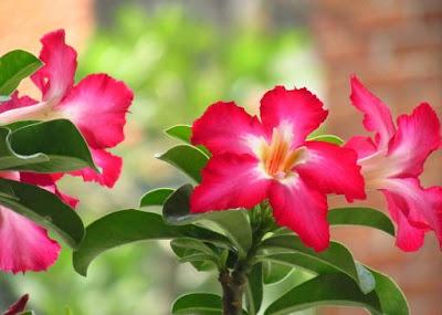 tanaman tahan panas kamboja