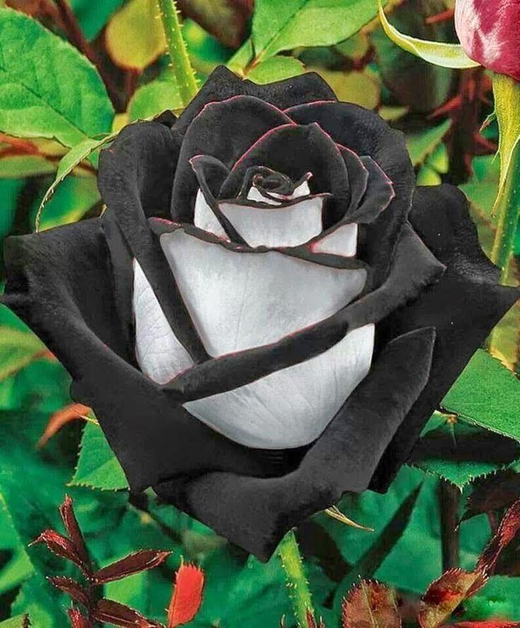 Imágenes de rosas negras fotos de rosas negras 1