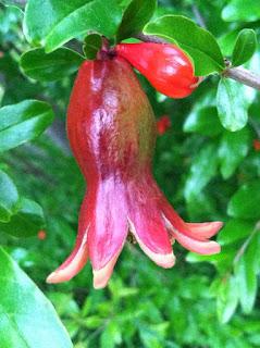 Pomegranate in May by Maja Trochimczyk