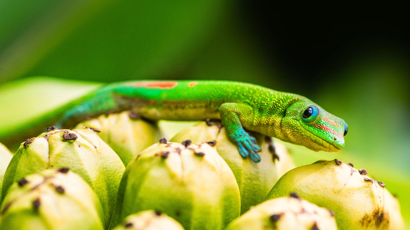 Day gecko on pandanus fruit, Captain Cook, Hawaii (© Mark A. Johnson/Corbis) 259