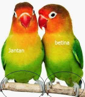 Ciri Burung Lovebird Betina Dan Jantan Dari Bertengger