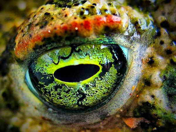 This is the close up of a frog eye.