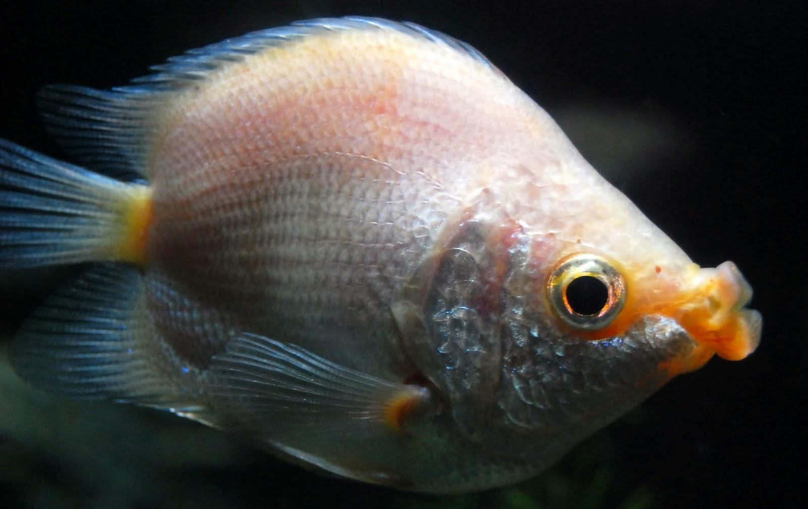 Cara Pembenihan Ikan Tambakan (Helostoma temmincki) - Alam ... Ikan Tambakan