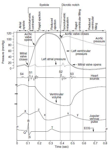 Cardiac Cycle In Human Functioning Method Sciencehack