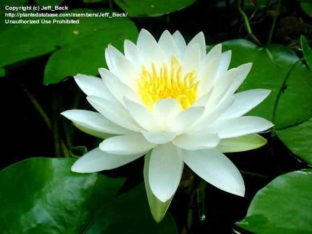 White water lily the national flower of bangladesh beautiful white water lily is also known as nymphaes alba under the family nymphaeasceae is the national flower of bangladesh and also known as european white water mightylinksfo