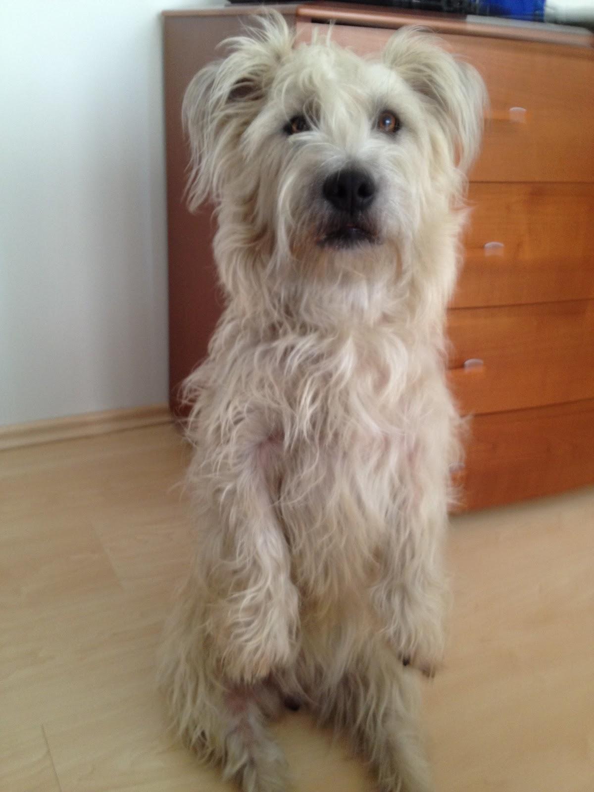 irish glen of imaal terriers  may 2012