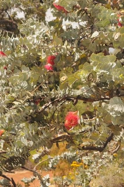 Mottlecah - Eucalyptus macrocarpa 038
