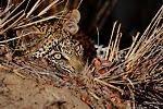 Nthombi's Male Cub