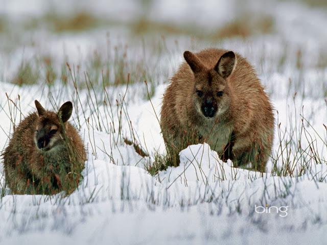 """<img src=""""http://4.bp.blogspot.com/-KwucN14GP0Y/Uq9i4HS70SI/AAAAAAAAFzY/dorhc9JFcrc/s1600/wrew.jpeg"""" alt=""""Kangaroos Animal wallpapers"""" />"""