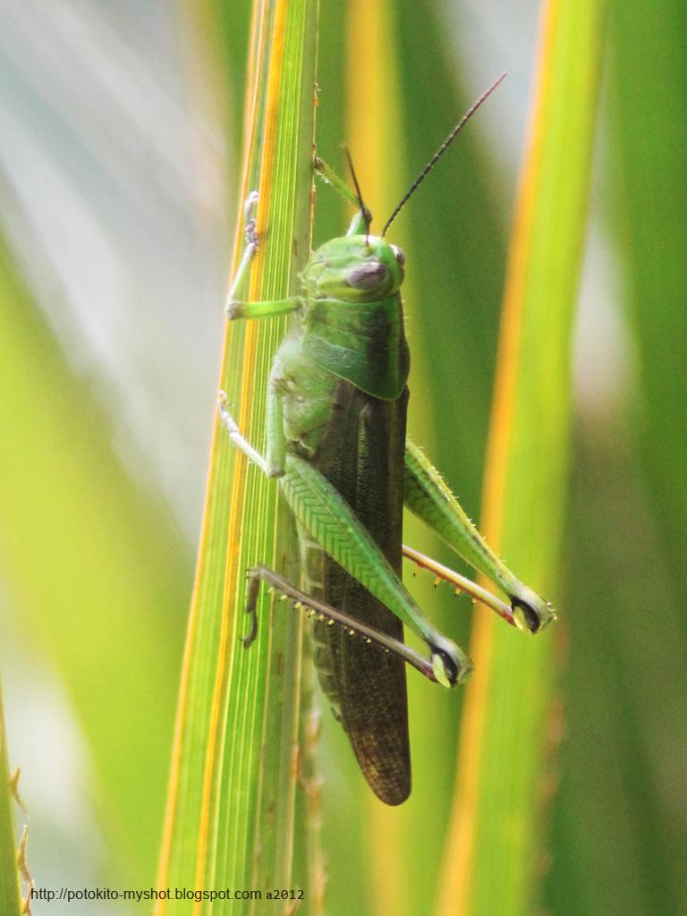 Green grasshopper scientific name